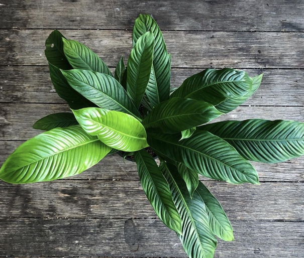 Philodendron lynette